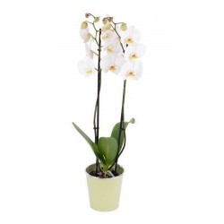 ORCHIDÉE 2 TIGES BLANCHE